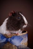 Guinea pig in a basket with a bow. Stock Photography