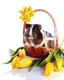 Guinea pig in a basket with a flowers and a champagne glass. Royalty Free Stock Image