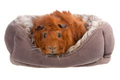 Guinea Pig in a basket isolated on white Stock Photography