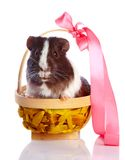 Guinea pig in a basket with a tape Royalty Free Stock Image