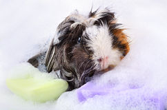 Guinea pig in bath stock photos