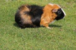 Guinea Pig. Stock Image