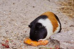 Guinea pig. Beautiful guinea pig nibbling at a carrot Stock Image