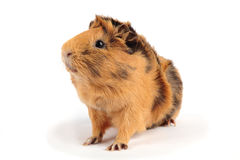 Guinea pig. Beautiful guinea pig sits on a white background Royalty Free Stock Photos