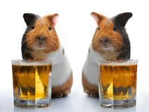 Guinea-pig and beer Stock Photos