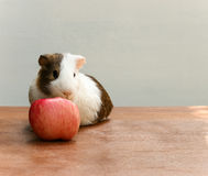 Guinea pig bite an apple. Royalty Free Stock Images