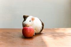 Guinea pig bite an apple. Stock Photos