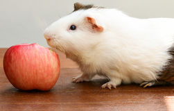 Guinea pig bite an apple. Royalty Free Stock Image