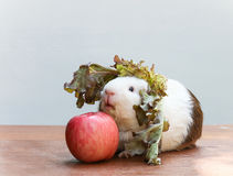 Guinea pig bite an apple. Royalty Free Stock Photography