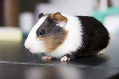Guinea pig  on black desk. Bright eyes,side view Stock Images