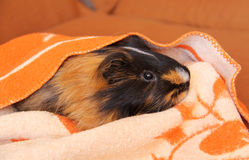 Guinea pig in the blanket Stock Photos