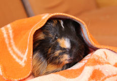 Guinea pig in the blanket Stock Images