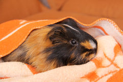 Guinea pig in the blanket Stock Photo