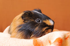 Guinea pig on the blanket Royalty Free Stock Photography