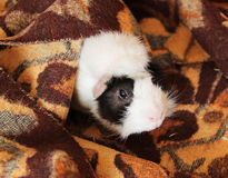 Guinea pig in the blanket Royalty Free Stock Photography