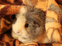 Guinea pig in the blanket Royalty Free Stock Images