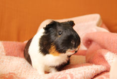 Guinea pig on the blanket Stock Photography