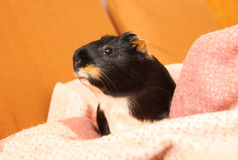 Guinea pig on the blanket Royalty Free Stock Images