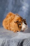 Guinea-pig Stock Photo