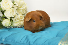 Guinea Pig on Blue Cushion. Dark Eye Golden Self Guinea Pig sitting on a blue cushion Stock Photos