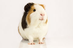Guinea pig with a blue tie. Royalty Free Stock Photography