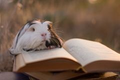 Guinea pig book royalty free stock photo