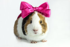 Guinea pig with a bow . Guinea pig with a bow on his head on a white background Royalty Free Stock Images