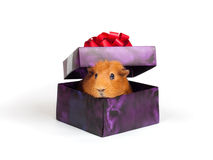 Guinea pig in box Royalty Free Stock Photo