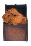 Guinea Pig in a box, isolated on white Royalty Free Stock Photography
