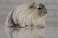 Guinea pig breed Coronet cavy Royalty Free Stock Photography