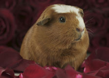 Guinea pig breed Golden American Crested in the petals of red roses Royalty Free Stock Image