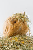 Guinea pig breed Sheltie in the hay.  Royalty Free Stock Images