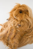 Guinea pig breed Sheltie. Stock Photography