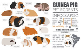 Guinea Pig breeds infographic template, icon set flat style isol. Ated. Pet rodents collection. Create own infographic about pets. Vector illustration Royalty Free Stock Image