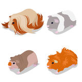 Guinea Pig Breeds Set with Peruvian, American Teddy, Skinny and Abyssinian. Pet Rodents. Vector illustration Royalty Free Stock Photography