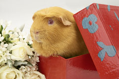 Guinea Pig in bright red box. A Guinea Pig sitting in a bright red box Stock Images