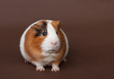 Guinea-pig on the brown background Royalty Free Stock Image