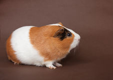 Guinea-pig on the brown background Stock Photos