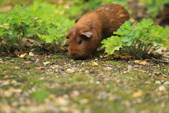 Guinea pig. The brown guinea pig strolling sniffing on the soil Stock Image