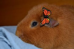 Guinea Pig with Butterfly clip stock photography