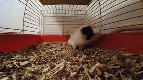 Guinea pig in a cage.  stock video