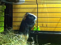 Guinea pig in cage Royalty Free Stock Photo