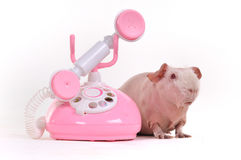 Guinea Pig on a call Stock Photos