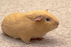 Guinea pig on carpet Royalty Free Stock Images