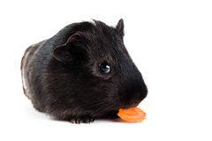 Guinea pig with carrot Royalty Free Stock Image