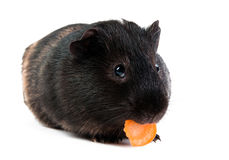 Guinea pig with carrot. Isolated on white background Stock Image