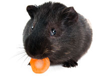 Guinea pig with carrot. Isolated on white background Royalty Free Stock Image