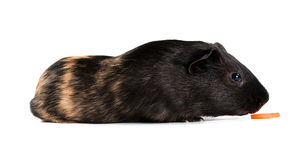 Guinea pig with carrot Stock Images