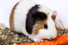 Guinea pig with a carrot. Royalty Free Stock Images