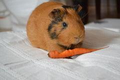 Guinea pig and carrot Stock Photo